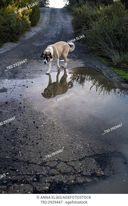 Mastiff dog walking alone on a country road, Constantina, Seville province, Andalusia, Spain