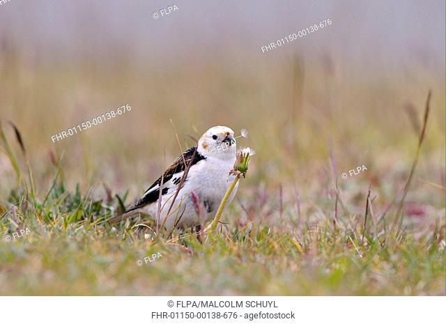 Snow Bunting Plectrophenax nivalis adult male, breeding plumage, feeding on wildflower seeds, Iceland, June