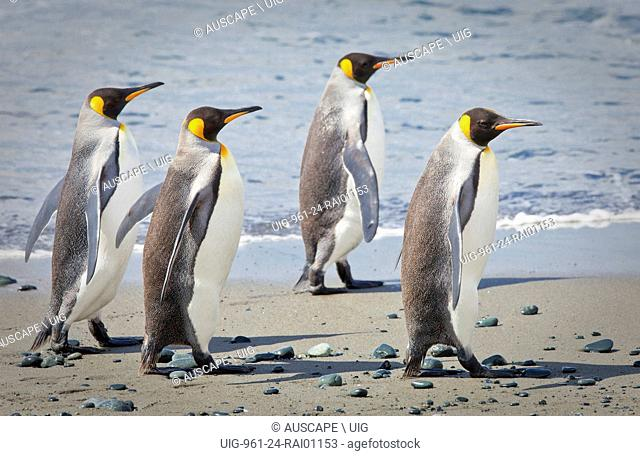 King penguins, Aptenodytes patagonicus, group of four walking on the beach. Macquarie Island, Sub Antarctic, administered by Tasmania, Australia