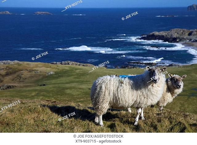 two sheep in a remote field beside the coast at malin head on the inishowen peninsula county donegal republic of ireland