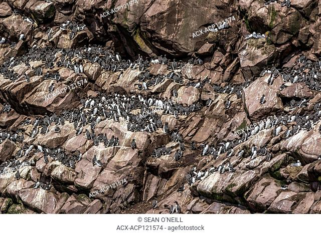 common murre (Uria aalge) on shorline at Witless Bay ecological reserve, Newfoundland, Canada