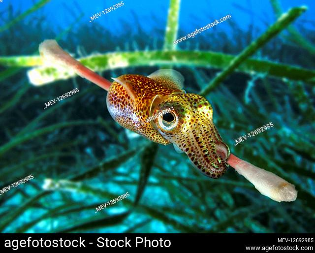 Atlantic bobtail, Sepiola atlantica, latching onto a cotton swab. This small squid feed usually on young fish and other small animals