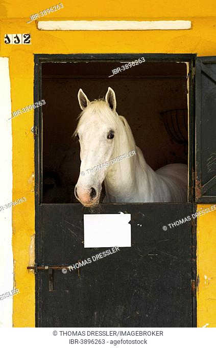 Stallion in his box stall during the Feria del Caballo Horse Fair, Jerez de la Frontera, Cádiz province, Andalusia, Spain