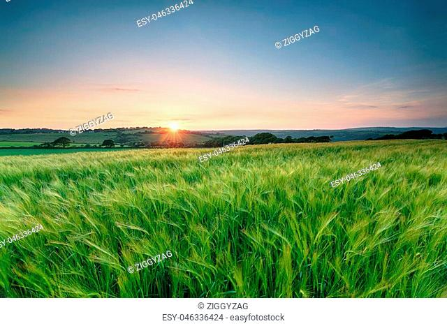 Beautiful sunset over fields of barley ripening in the Cornwall countryside