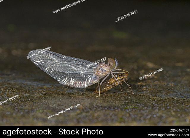 Dragonfly emerging out, Amboli, India