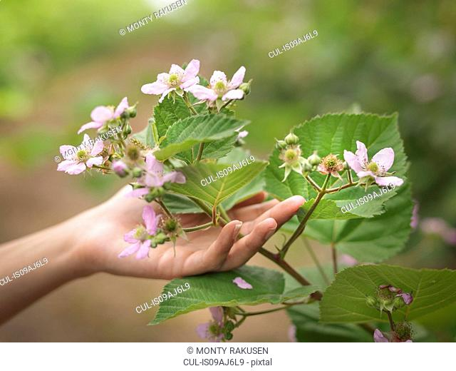 Hand holding blackberry flowers on fruit farm, close up