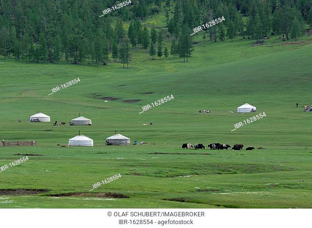 Mongolian summer camp of nomads with herds of yak, Mongolian round tents, ger or yurt in lush green grasslands near the Khuisiin Naiman Nuur Nature Reserve
