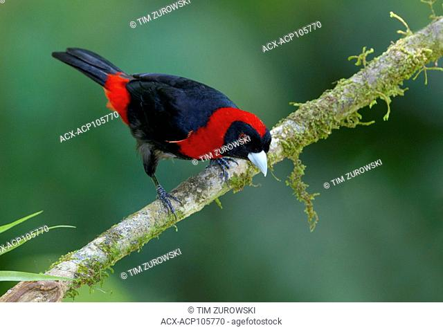 Crimson-collared-Tanager (Ramphocelus sanguinolentus) - at the Nature Pavilion in La Virgen, Costa Rica