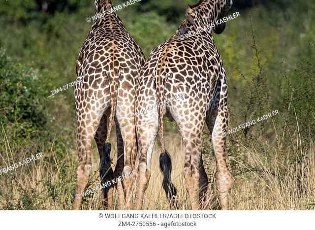 Thornicrofts Giraffe (giraffa camelopardalis thornicrofti) butts in South Luangwa National Park in eastern Zambia