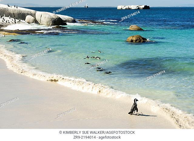African Penguins (Jackass Penguins) near shoreline, Boulder Beach National Park, Simonstown, South Africa