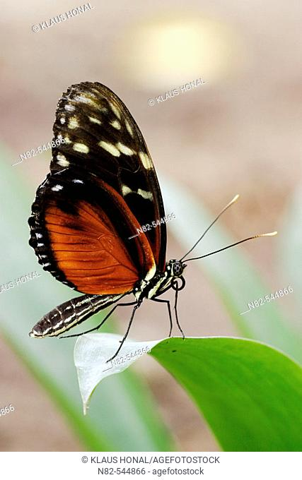 Hecales Longwing (Heliconius hecale) on leaf