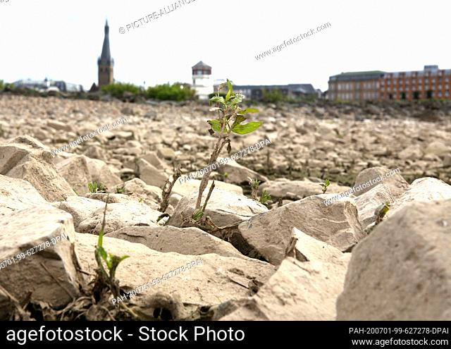 30 June 2020, North Rhine-Westphalia, Duesseldorf: A delicate little plant grows on the dry bank of the Rhine. In the morning