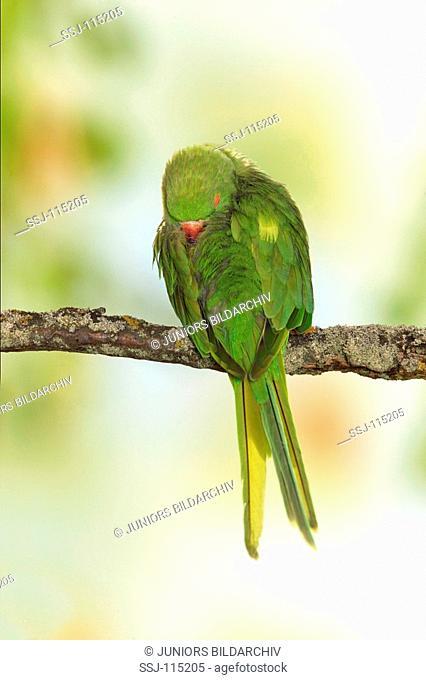 Ring-necked Parakeet on twig - sleeping / Psittacula krameri restrictions: animal guidebooks