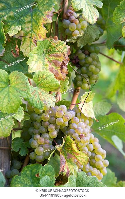 REISLING GRAPES IN MOSEL VALLEY. GERMANY