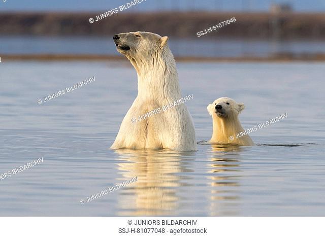 Polar Bear (Ursus maritimus, Thalarctos maritimus). Mother and cub in the sea. Kaktovik, Alaska. Every fall polar bears gather near Kaktovik on the northern...