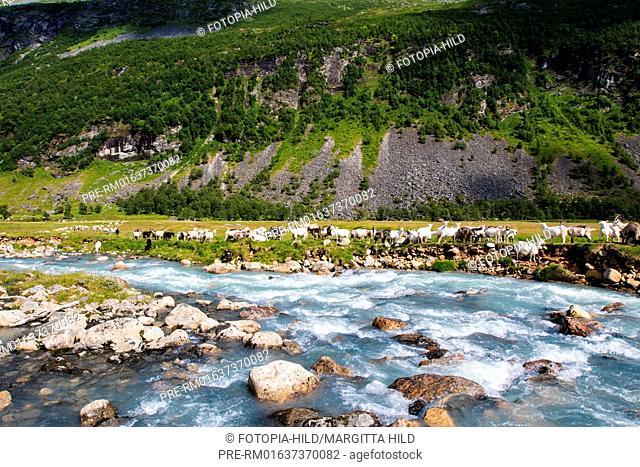 Flock of goats at Herdalssetra mountain summer farm, Møre og Romsdal, Norway / Ziegenherde auf der Alm Herdalssetra, Møre og Romsdal, Norwegen