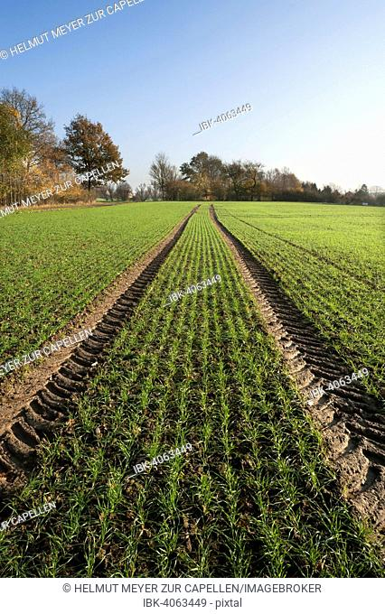 Budding winter wheat (Triticum) and tractor tracks in a field, Mecklenburg-Western Pomerania, Germany