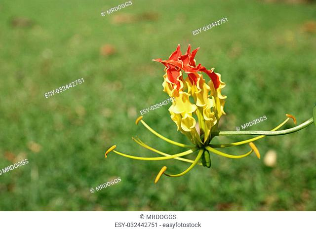 Bloom Flame lily on green grass background