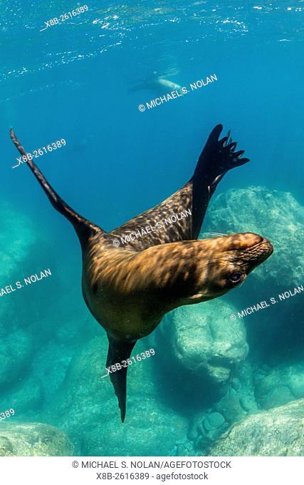 Adult California sea lion, Zalophus californianus, underwater at Los Islotes, Baja California Sur, Mexico