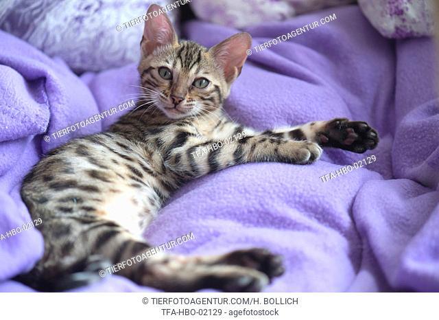Bengal Cat in the apartment
