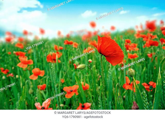Beautiful fields of red poppies close up. Scotland, United Kingdom