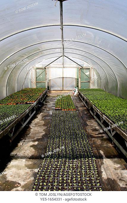 Plants growing in polytunnel, England, UK