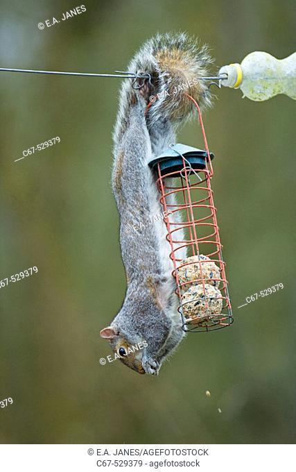 Grey Squirrel raiding bird feeder