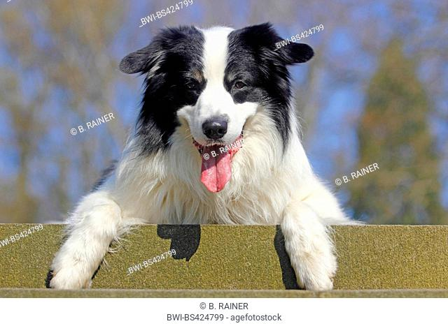 Australian Shepherd (Canis lupus f. familiaris), lying with tongue hanging out on a stair, portrait, Germany
