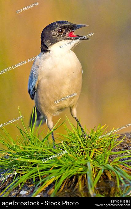 Azure-winged Magpie, Cyanopica cooki, Rabilargo, Forest Pond, Castilla y León, Spain, Europe