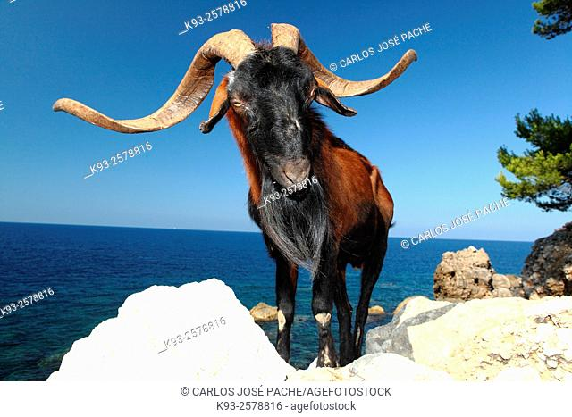 Majorcan wild goat, Majorca, Balearic Islands, Spain