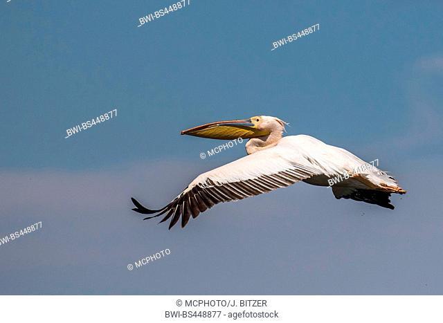 eastern white pelican (Pelecanus onocrotalus), in flight, side view, Romania, Biosphaerenreservat Donaudelta