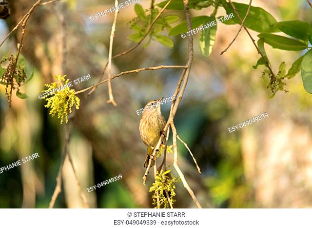 Pine Warbler Setophaga pinus perches in a tree in Naples, Florida