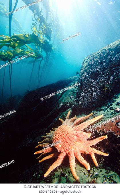 Sunflower sea star (Pycnopodia helianthoides) and giant kelp. Pacific Northwest