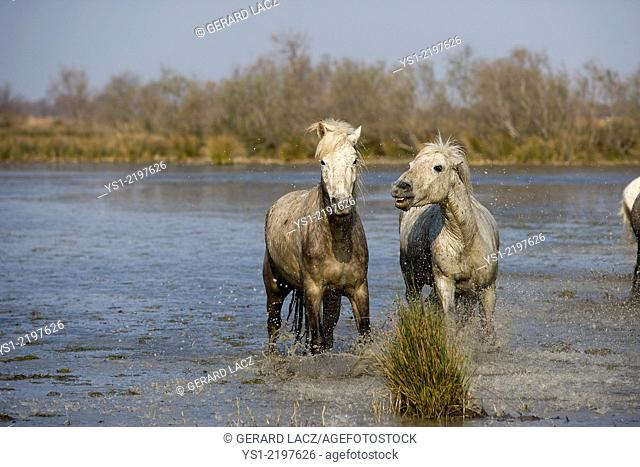 CAMARGUE HORSE IN SAINTES MARIE DE LA MER IN THE SOUTH OF FRANCE