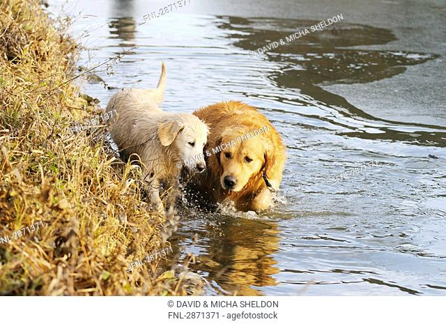 Golden Retriever walking with its puppy in water, Franconia, Bavaria, Germany