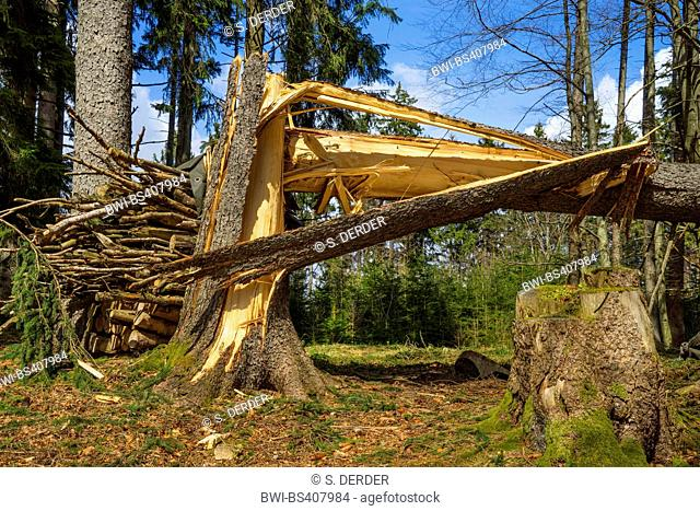 Norway spruce (Picea abies), storm loss at a spruce trunk, Germany, Bavaria, Oberbayern, Upper Bavaria