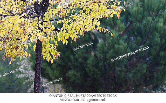 Elm leaves. Rain. Almansa. Albacete province. Spain