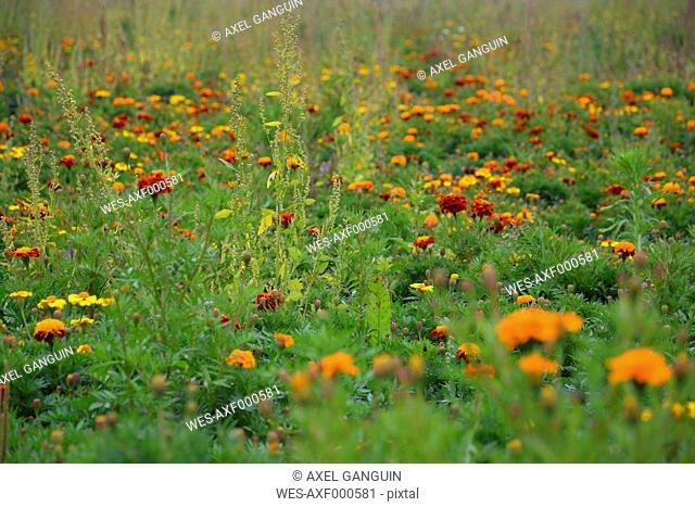 Meadow with red and orange marigolds (Tagetes erecta)