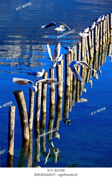 black-headed gull (Larus ridibundus, Chroicocephalus ridibundus), troop of gulls on posts the Lake Annecy , France, Haute-Savoie, Annecy