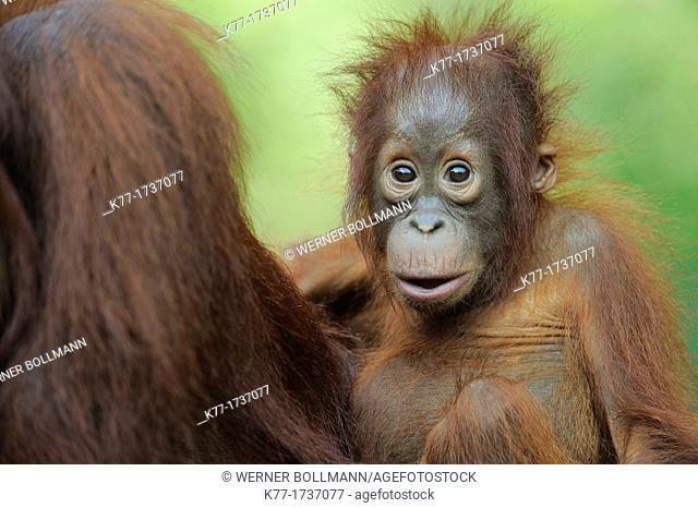 Orang Utan, Baby Pongo pygmaeus, Tanjung Puting National Park, Province Kalimantan, Borneo, Indonesia
