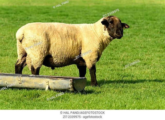 portrait of a sheep near a trough in a green field at Romney Marsh, Kent