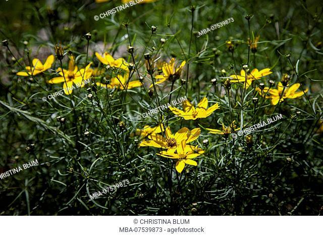 Flowering whorled tickseed, Coreopsis verticillata 'Zagreb'