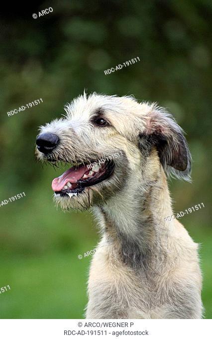 Irish Wolfhound, Irischer Wolfshund