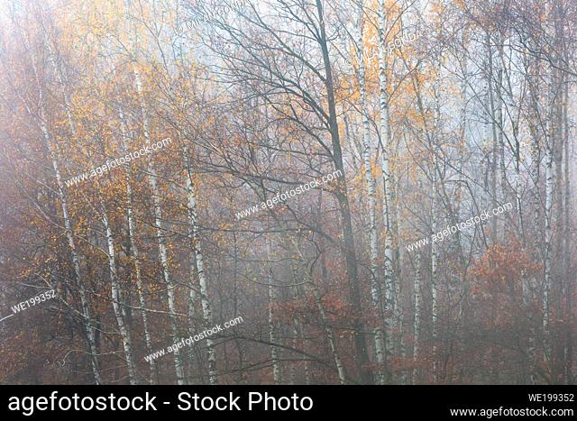 Autumnal deciduous forest in Mala Fatra national park, Slovakia
