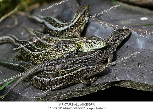 09 August 2019, Schleswig-Holstein, Kiel: Old animals of sand lizards sit on a stone jug. The Schleswig-Holstein Foundation for Nature Conservation is currently...
