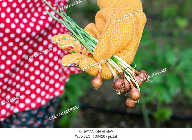 Woman's hand holding plant bulbs in a garden