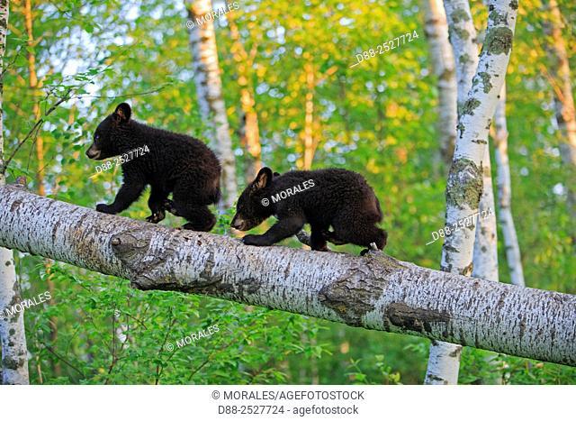 United States, Minnesota, Black bearUrsus americanus, youngs in a tree