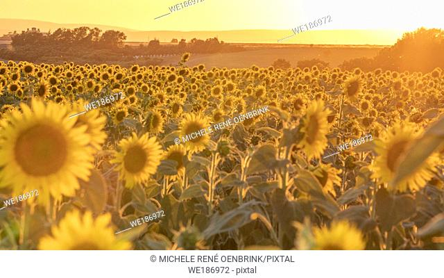 Sunset over Sunflower field blooming near lavender fields during summer in Valensole plain of Provence France