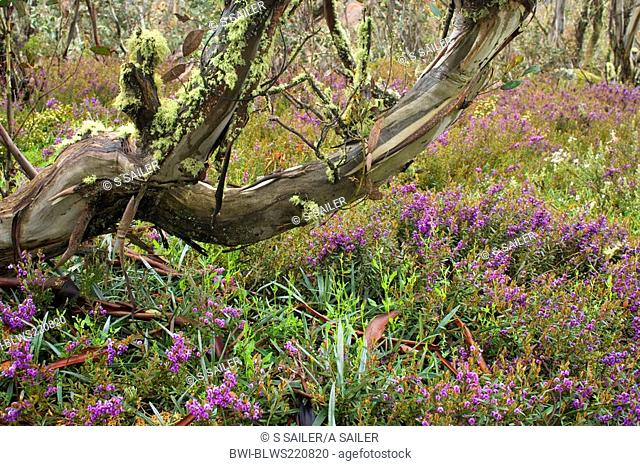 Alpine Hovea Hovea montana, colourful blooming in a forest of snow gums, Eucalyptus pauciflora, in early , Australia, Victoria, Bogong Highplains