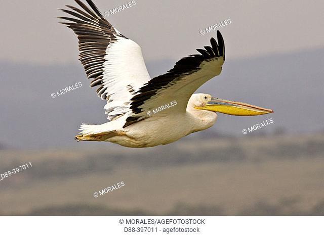 White Pelican (Pelecanus onocrotalus), Lake Nakuru National Park. Kenya